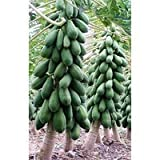 SeedsDirect's Dwarf Carica Papaya Seeds - by Snow-girl ()
