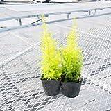 【常緑性高木】 ゴールドクレスト スリムゴールド 2株セット