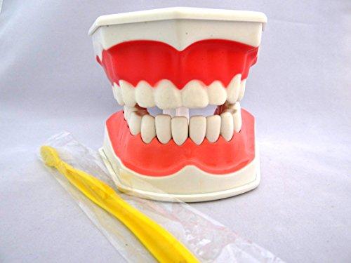 歯形 歯列 模型 の 定番 歯磨き 幼児 子ども 学習 指導 に 最適 の 歯型 大きめサイズ ( 歯 ブラシ 付き ) ABCcenter