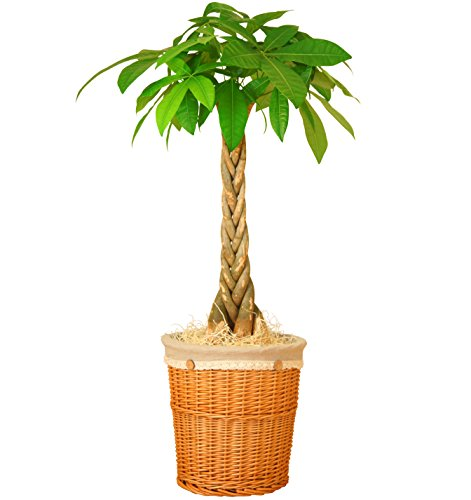 パキラ 7号鉢 ナチュラルバスケット 観葉植物 インテリア グリーン