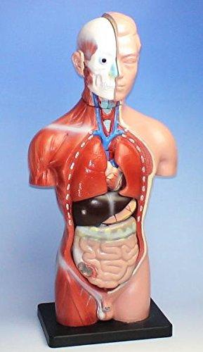 【新品箱無し】人体模型 【男性44cm】リアルタイプ 内臓パーツ取外可【JUEKO】JK-4325A