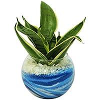 花市場直送便 サンスベリア(カラーサンド植え) バブルボール10cm ブルー