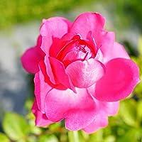 バラ苗 パレード 3年生特大苗つるバラ 四季咲き ピンク 強健 バラ 苗 つるばら 薔薇 バラ苗木