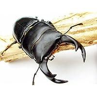 国産オオクワガタ幼虫1.2令[生体]