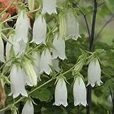 白花ホタルブクロ