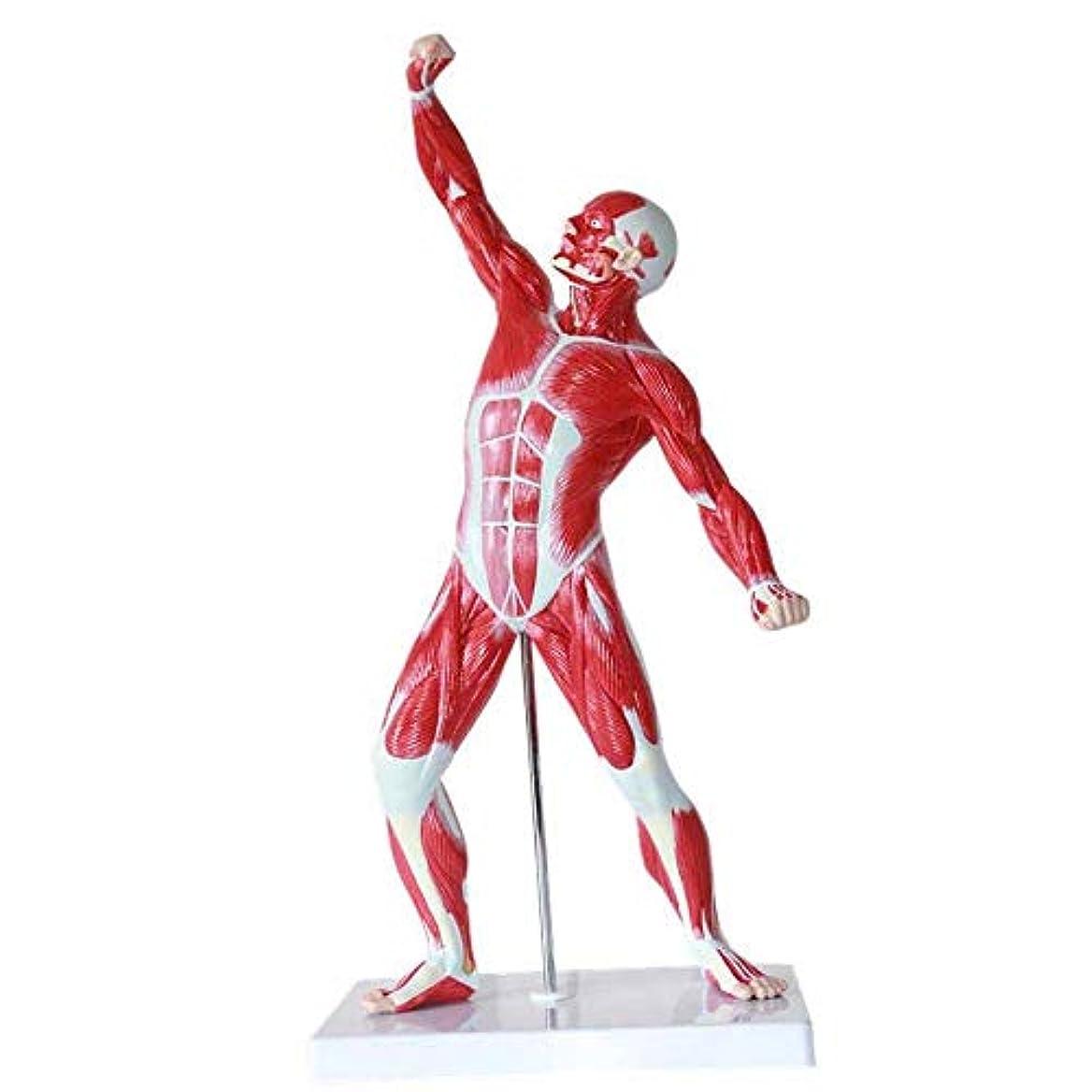 強要宿命流行医学モデル人体筋肉解剖モデル生物科学教育実演モデル