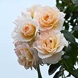 バラ苗 シリウス 国産新苗4号ポリ鉢 つるバラ(CL) 返り咲き 中輪 白系
