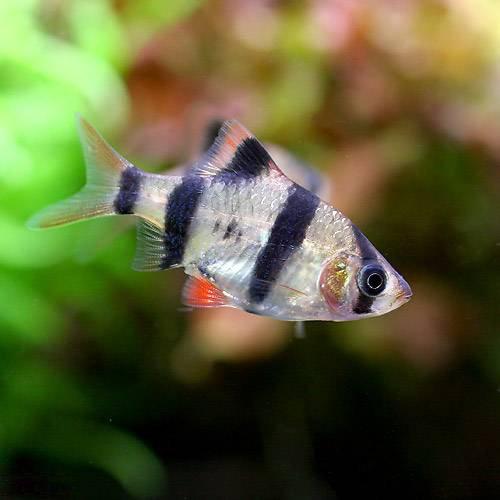 (熱帯魚) スマトラ(3匹) 本州・四国限定[生体]