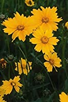 Lanceleaf-Coreopis-Coreopsis-Lanceolata-500-種子 - 干ばつ - 耐性 - カット花Lanceleaf-Coreopis- Coreopsis- Lanceolata-500-種子 - 干ばつ - 耐性 - カット花今すぐ売る