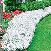 100ピースクリーピングタイムまたはマルチカラーロッククレス多年生の花グランドカバーフラワーガーデンデコレーション種子:4