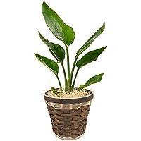 観葉植物 旅人の木 オーガスタ インテリア グリーン 6号鉢 バスケット