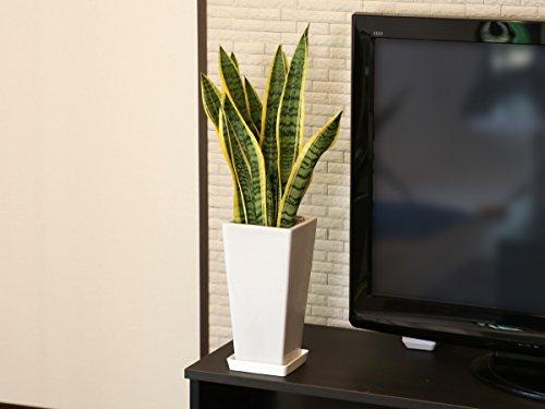 観葉植物 サンスベリア6号角高陶器鉢(白)