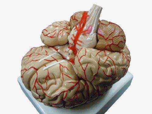 人体模型 脳 模型 脳解剖模型 取り外し可能 高性能 実物大
