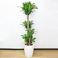 幸福の木 マッサン 大鉢 観葉植物 10号 インテリア 大型 オシャレ 大きい 尺鉢