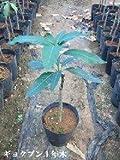 玉文マンゴーの苗木(3年木)