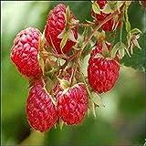 25個の種子ラズベリーレッドブッシュシーズ(ヨーロッパキイチゴ)