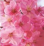 【苗木/桜】河津桜