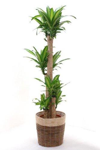 【鉢カバー付】幸福の木(ドラセナ・マッサンゲアナ)10号鉢