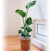 観葉植物 旅人の木 オーガスタ ナチュラルバスケット 7号鉢 インテリア グリーン
