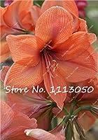 ポットフラワーガーデンバルコニー簡単に育てグラムアマリリス盆栽100の中国の安いフラワー盆栽植物美しい花工場:8