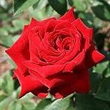 バラ苗 イングリッドバーグマン 国産新苗4号鉢 ハイブリッドティー (HT) 四季咲き大輪 赤系