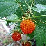 日本の木いちご(キイチゴ):カジイチゴ4号ポット[大実で食味抜群、日本の山野に自生する木苺][苗木] ノーブランド品