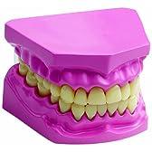 童友社 人体解剖模型シリーズ口腔内模型 歯 完成品