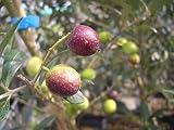 オリーブの木 アルベキナ 2年生苗 庭木 常緑樹 シンボルツリー オリーブ 苗 苗木