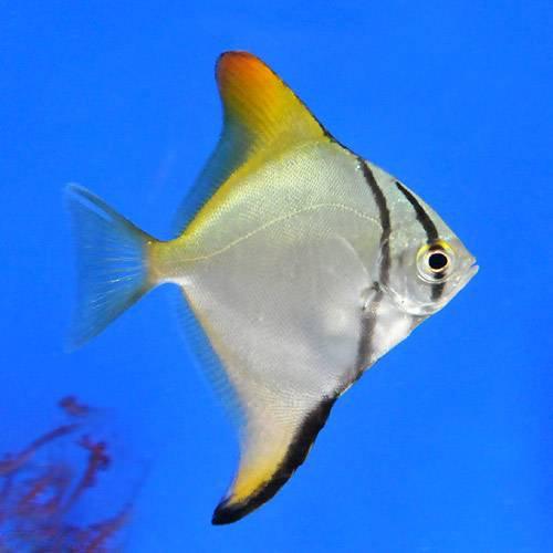 (海水魚)ヒメツバメウオ(モノダクティルス)(1匹) 本州・四国限定[生体]