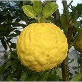 獅子柚子(シシユズ)4~5号ポット[柑橘・かんきつ類]