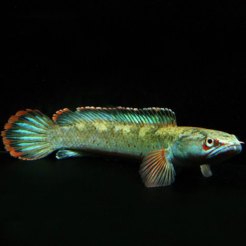 (熱帯魚)アイズファイヤースネークヘッド (約12cm) <1匹>[生体]