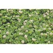 【種子】ホワイトクローバー500g
