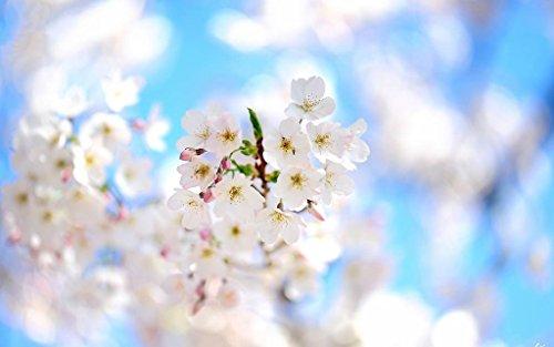 春の枝、白い花が咲く キャンバスの 写真 ポスター 印刷 植物・花 (90cmx60cm)