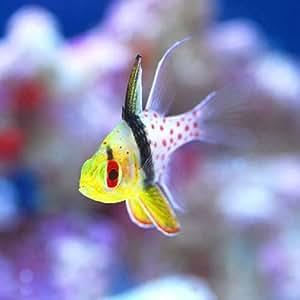 (海水魚) マンジュウイシモチ(1匹) 本州・四国限定[生体]