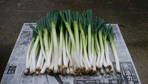特別栽培野菜 長ねぎ 5kg (山形県産)