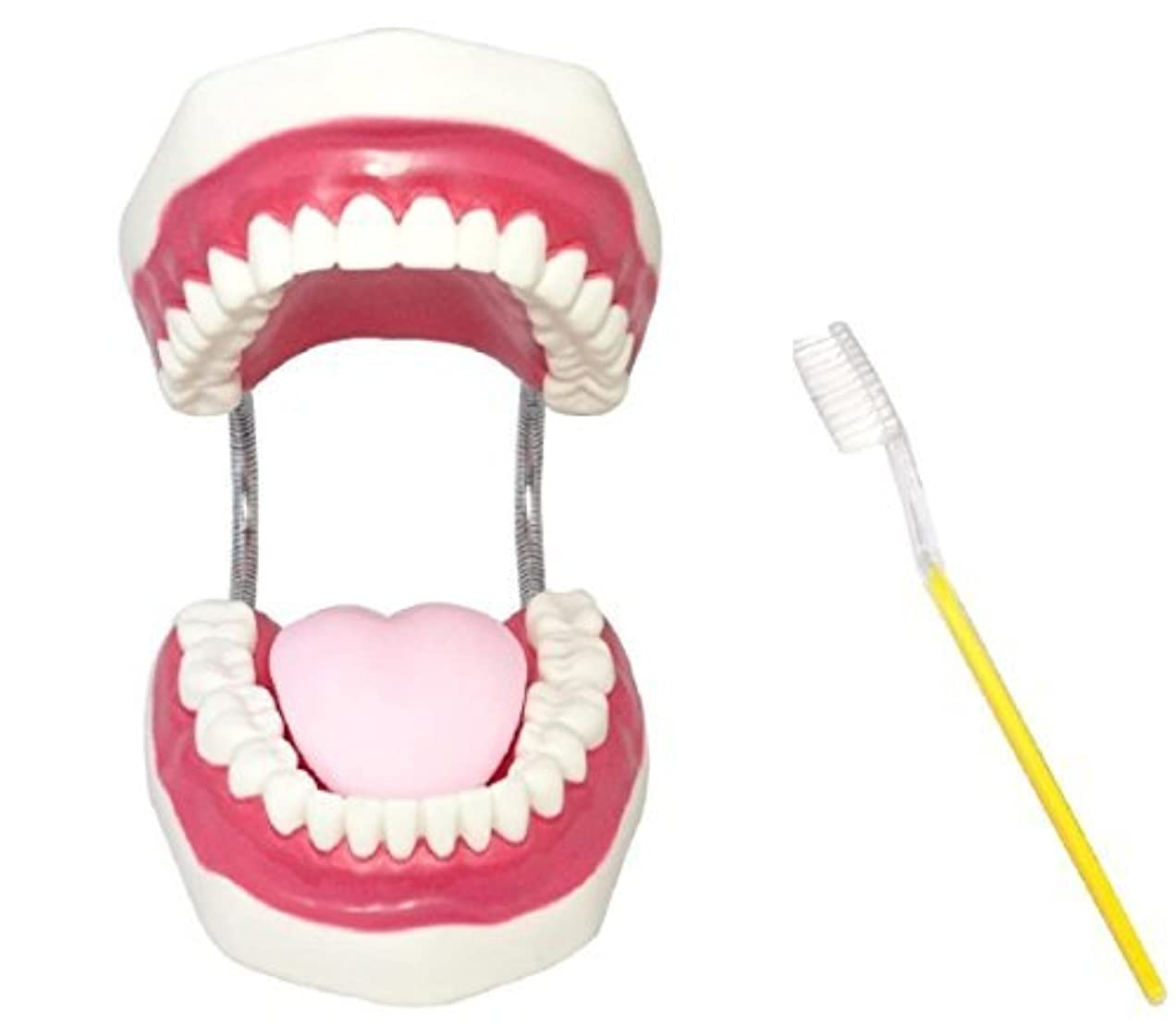 寸法カーフ津波cmy selectt 歯 模型 歯列模型 歯模型 歯列 模型 大型 モデル 無段階 開閉式 歯ブラシ セット