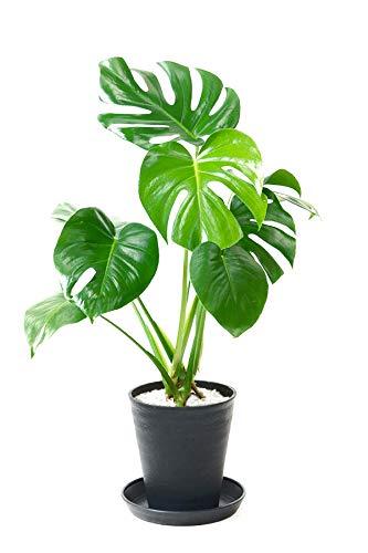 RoomClip商品情報 - 【セラアート鉢】選べる観葉植物 6号鉢 (モンステラ, ブラック)