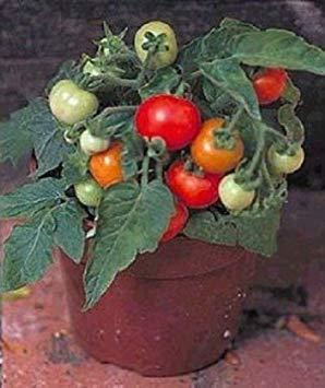マイクロトム世界最小のトマト植物園が始まる25個のトマト種子