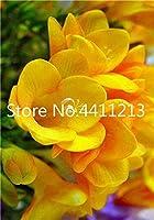 100個ミックスフリージア盆栽、ゴージャスなDIY家庭菜園カラフル&香りの花植物カット花、庭のバルコニーの装飾:22