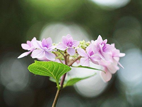 【1年間枯れ保証】【春に花が咲く木】アジサイ/ジョウガサキ 0.4m15cmポット 10本セット