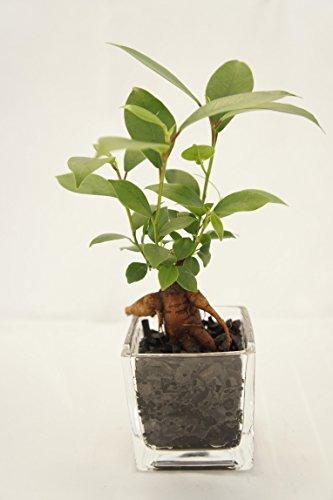 【土を使っていないから衛生的でお部屋のインテリアにぴったり。お世話簡単!炭の力でマイナスイオン効果も。人気のガジュマルです。】 観葉植物 ハイドロカルチャー ガジュマル 炭 ブロックM