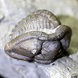 《アメリカ,オハイオ州産》三葉虫(Flexicalymene,retrorsa)化石 68g