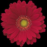 ガーベラ 生花 切り花 赤 チェレキなど 5本