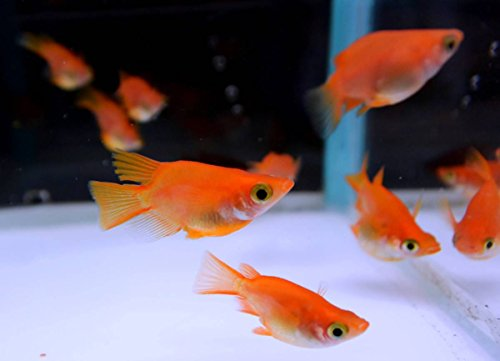 (生体) メダカ稚魚 紅帝ダルマの産んだ稚魚20匹 本州(山口県省)四国限定