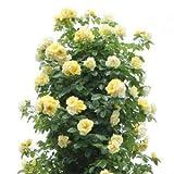 バラ苗 つるスマイリーフェイス 国産大苗6号スリット鉢 つるバラ(CL) 返り咲き 黄色系