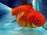 超かわいい レア物金魚 バルーンオランダシシガシラ【こだわりの生体をお届けします 名生園】