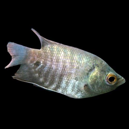 オスフロネームスグラミー (6-8cm) <1匹>[生体]