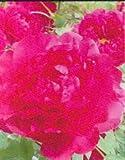 【牡丹】 (赤色) 島輝(シマノカガヤキ) 2年生苗 落葉樹 低木 ぼたん