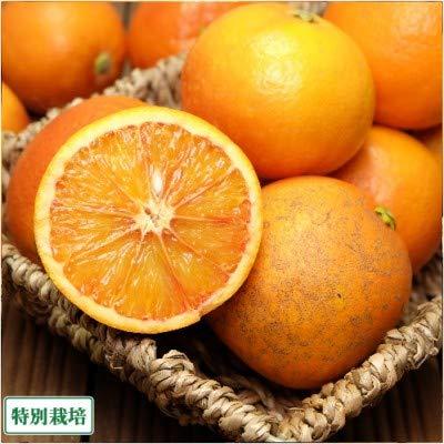 【訳あり】ブラッドオレンジ 5kg 特別栽培 (広島県 セーフティフルーツ) 産地直送 ふるさと21