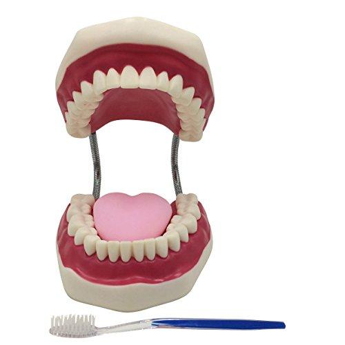 歯型模型 大型 可動式 口腔 歯列模型 はみがき 練習用 幼児 歯磨き 指導 教育 練習 デモンストレーション 歯ブラシ & 保存袋付き
